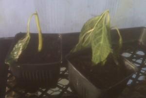 Salvia divinorum plant in severe shock