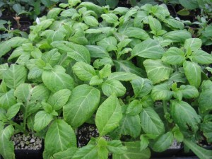 Salvia divinorum rooted cuttings