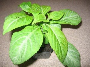 Salvia divinorum young plant